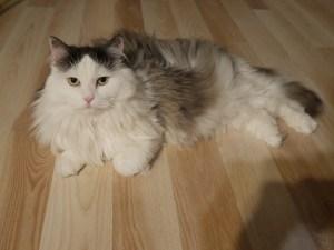 gatto-siberiano-pelo
