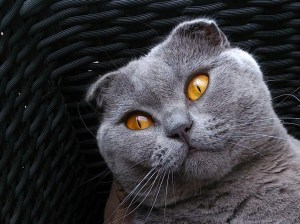scottish-fold-