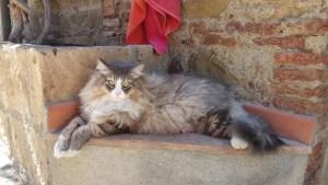 siberiano-gatto