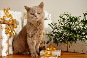 British Shorthair2