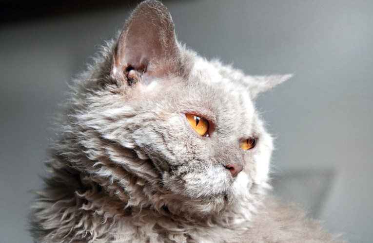 Selkirk rex: carattere e storia