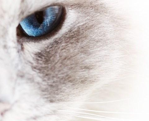 gatto-bianco-foto