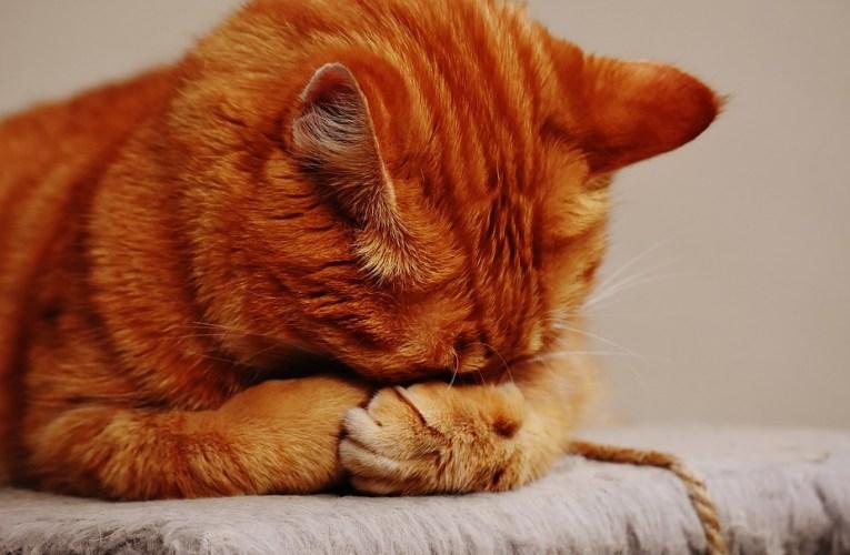 Gestire il gatto diabetico