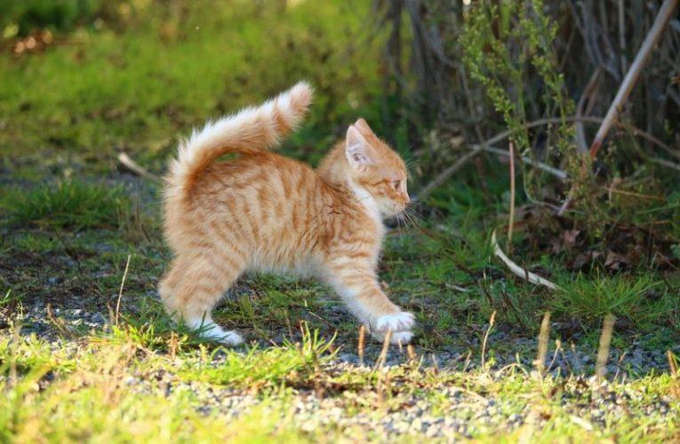 Perché i gatti a volte scappano per giorni? Gps per Gatti