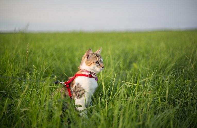 Gatti al guinzaglio: la guida