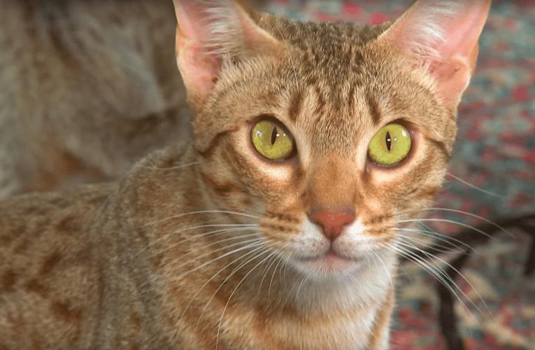 Gatto Ocicat: caratteristiche e carattere
