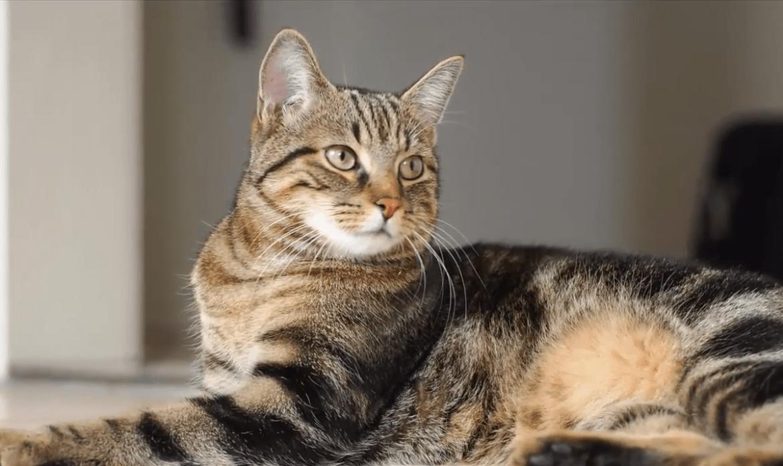 sokoke gatto foto