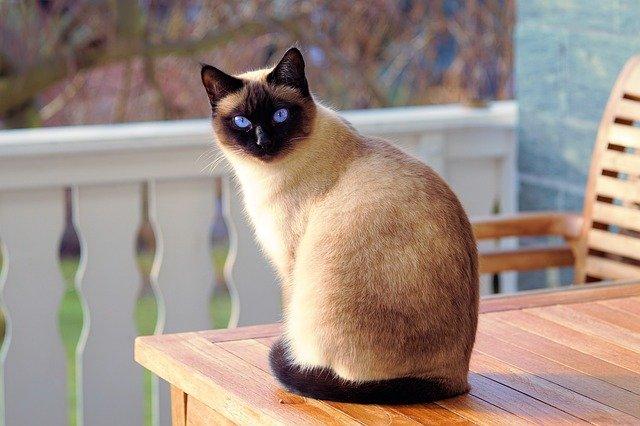 gatto siamese