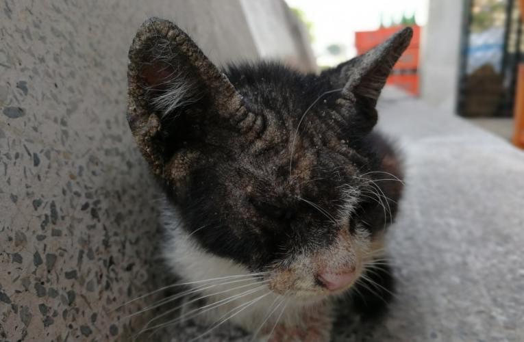 Dermatite del gatto da intolleranza alimentare: cosa fare?