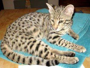 gatto safari