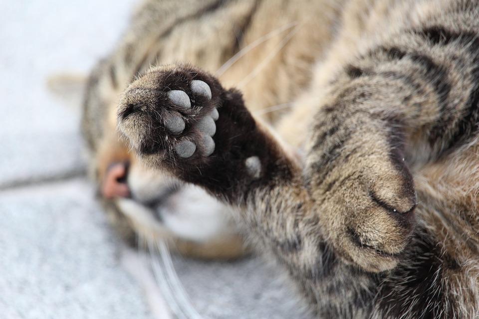 cuscinetti della zampa del gatto