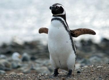 pinguini migrazione patagonia argentina uruguay