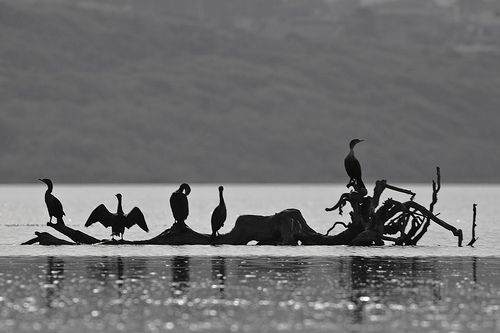 Double-crested cormorants (Phalacrocorax auritus) in silhouette