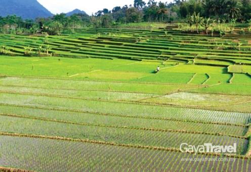 Rice Terrace in Garut