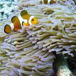 Clownfishes can easily be found near corals