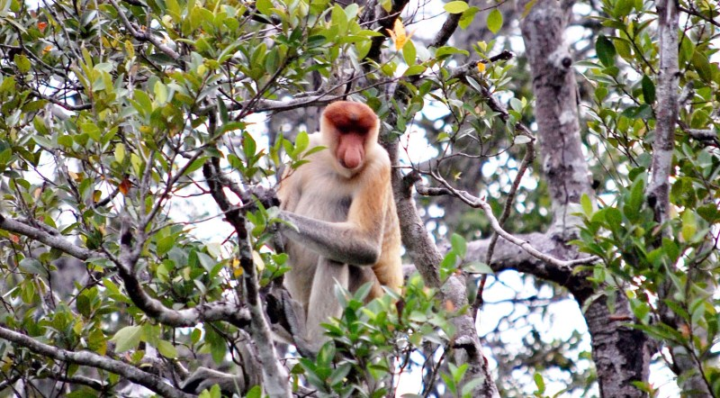 A proboscis monkey resting among the branches