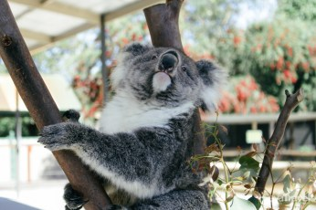 Greet and meet session with the adorable koala