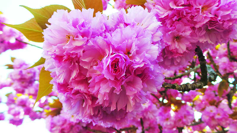 ?? Issue 11.2 : Blooming Japan: Best Places to Go During Spring