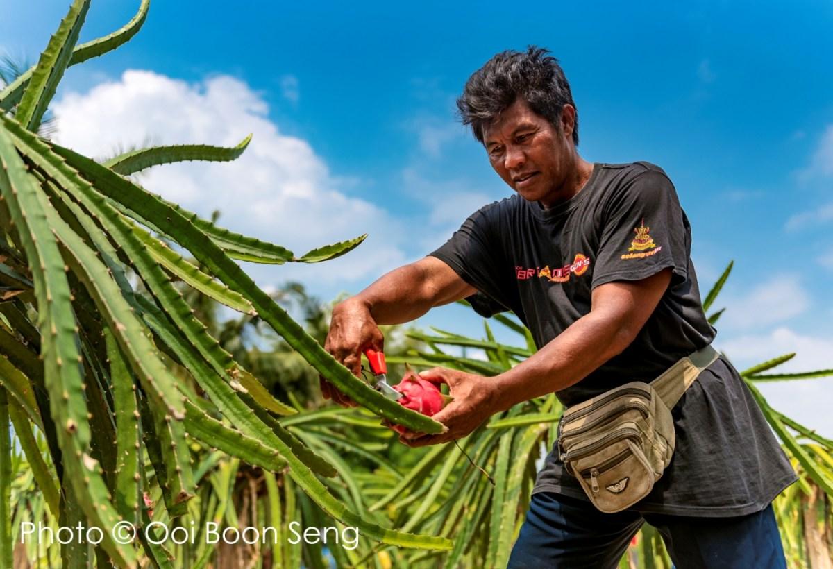 HL Dragon Fruit Eco Farm