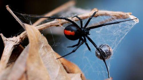 Redback Spiders 1-3cm