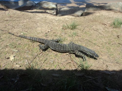 Goanna at The Basin campsite in Palm Beach