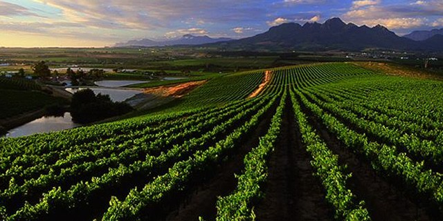stellenbosch-vineyards