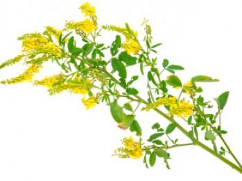 ce iarbă este utilă în varicoză cum se tratează sfecla varicoasă