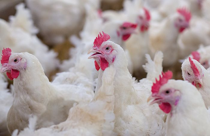 COVID-19: How Poultry Industry Lost About N1.5trn