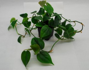 philodendronscandens