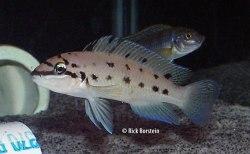Chalinochromis ndoboi
