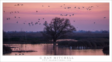 Geese, Dusk, Pond, and Tree