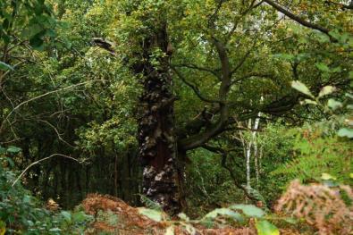 w lesie jest sporo potężnych drzew