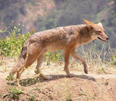Kojot preriowy (Canis latrans).