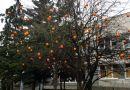 Drzewo na gdańskiej Zaspie obrodziło w pomarańcze!