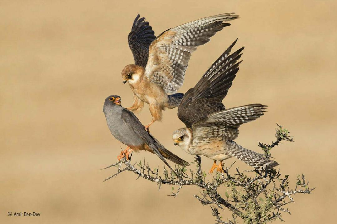 The company of three Amir Ben-Dov winner of Natural History Museum Wildlife Photographer of the Year 2015