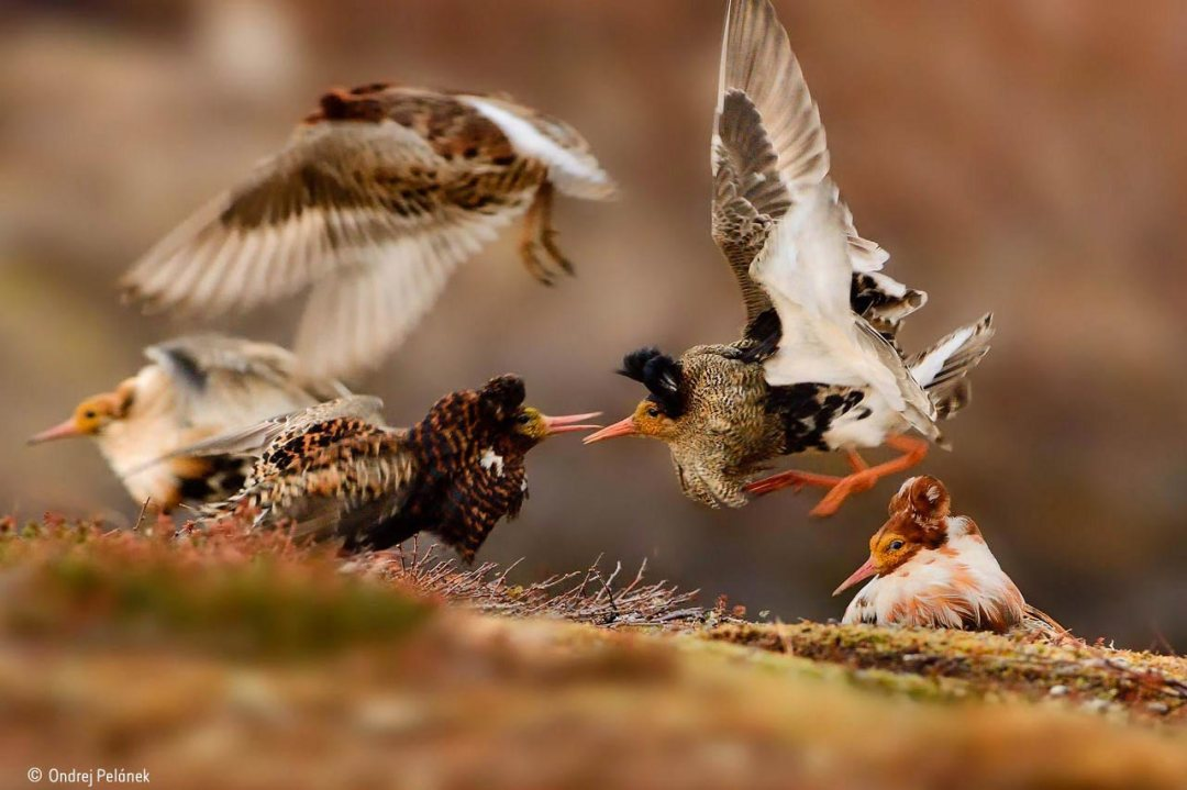 Ruffs on display Ondrej Pelánek winner of Natural History Museum Wildlife Photographer of the Year 2015