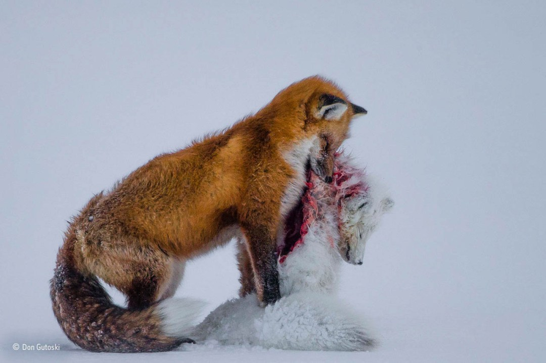A Tale Of Two Foxes Don Gutoski winner of Natural History Museum Wildlife Photographer of the Year 2015