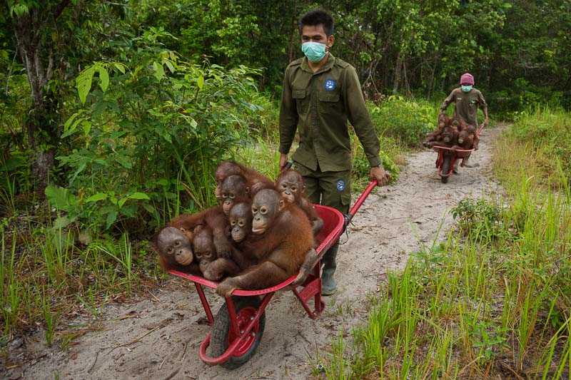 End of the Line? by Tim Laman The Unfolding Tragedy of Wild Orangutans