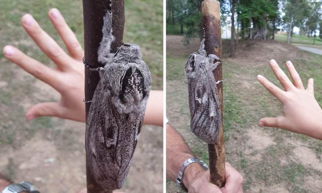 O molie de mărimea unei palme a fost descoperită în Australia