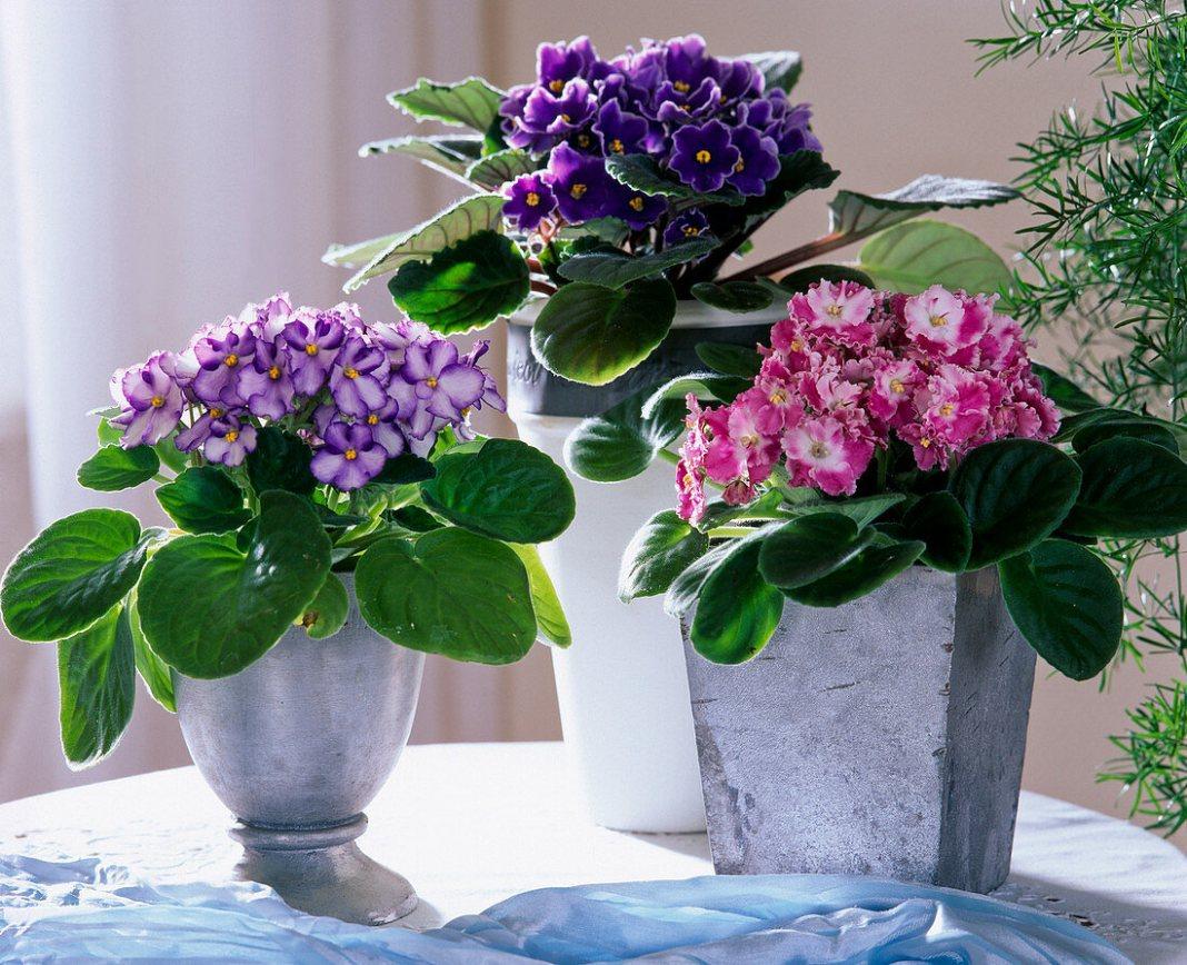 Violeta africană sau violeta de Parma