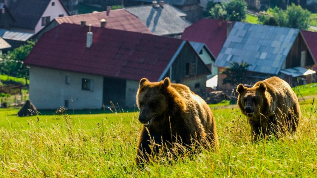Ciobani atacați de urs