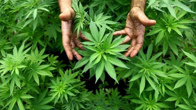 Italia: Parlamentul urmează să decidă legalizarea creșterii plantelor de canabis