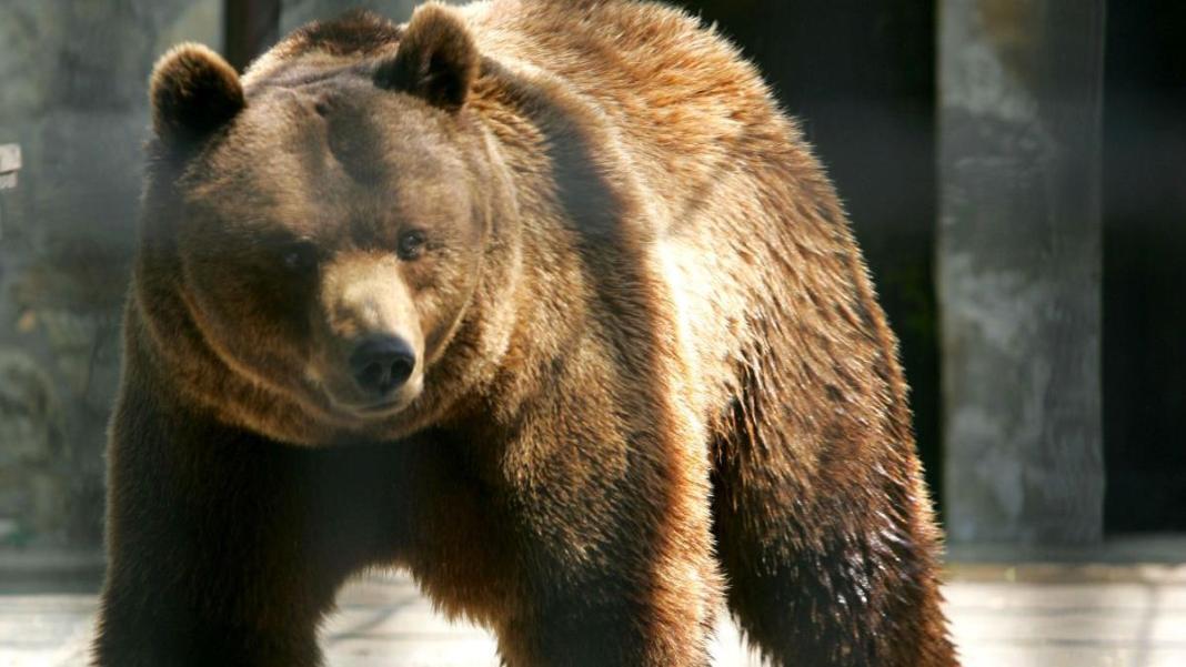 Cei doi bărbați atacați de un urs au fost transportați la spital