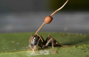 ZombieAntGF2 Several Zombie Ant Fungi Discovered