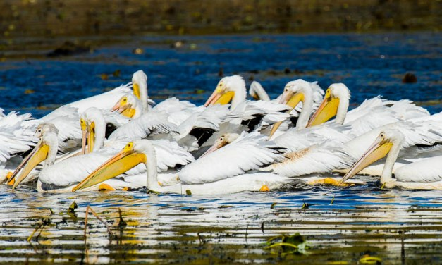 The Pelicans of Thomson Causeway