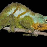Google Earth instrumental in discovery of new chameleon species