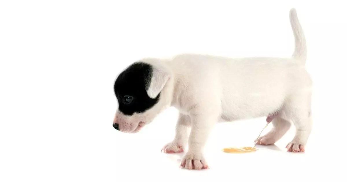 Hacer pipí en la calle - Cómo Educar a un Cachorro - 5