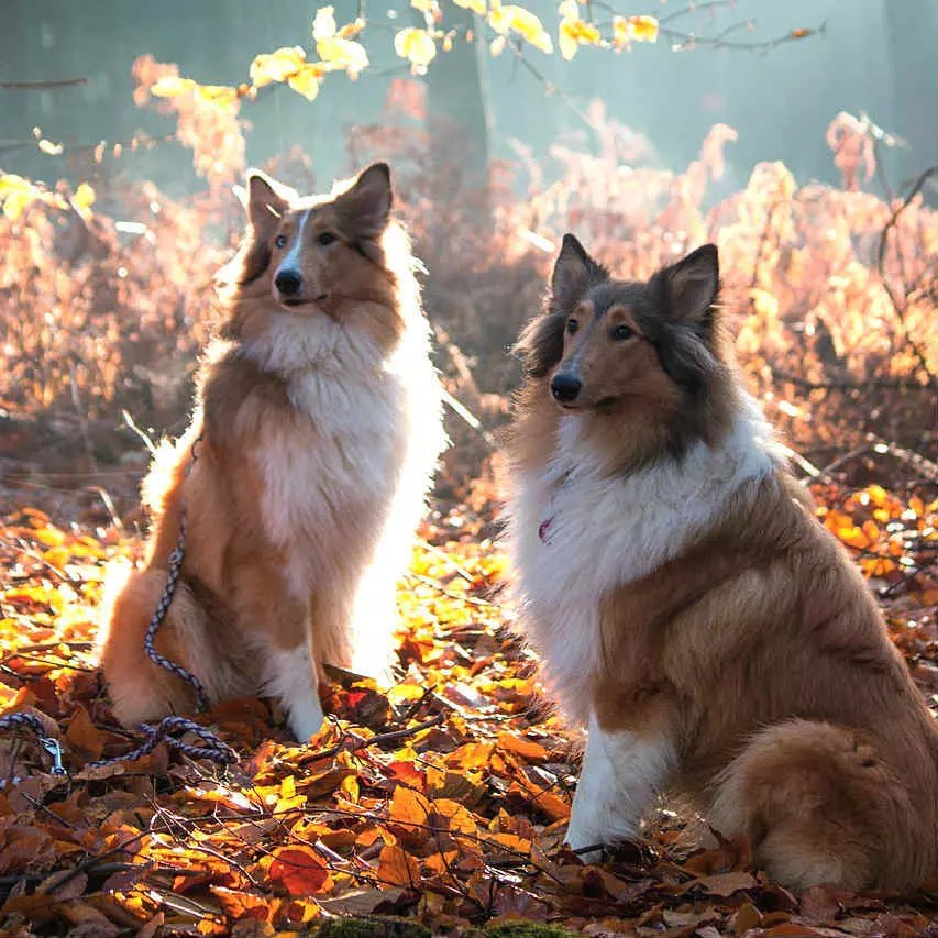 dos rough collie sentados en el bosque