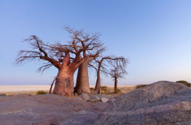 The African baobab is one of the continent's most recognizable tree species.Credit: Hougaard Malan/naturepl.com