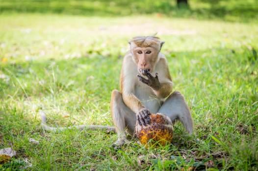 Makak jedzie z kokosem